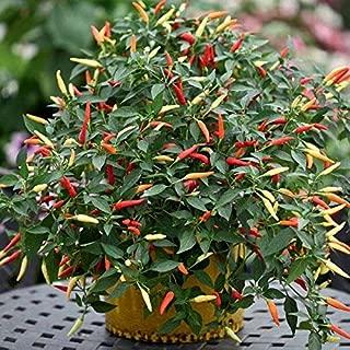 Firecracker (Indian Hybrid) Hot Pepper Seeds (100 Seeds)