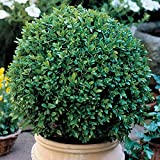 Green Velvet Boxwood - Quantity 10 Live Plants in Quart Pots by DAS Farms