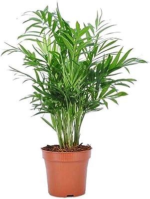 "AMERICAN PLANT EXCHANGE Chamaedorea Elegans Parlour Palm Real Live Houseplant, 4"" Pot, Light Green"