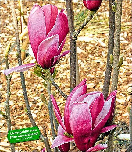 BALDUR-Garten Magnolie March Till Frost, 1 Pflanze Magnolia winterhart Tulpenmagnolie Magnolienbaum