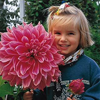 Cicitar Garden- Rare 10pcs Giant Dinnerplate Dahlia Mix Flower Sun-Loving Empire Dahlia Easy to Grow, Exotic Flower Seeds Hardy Perennial