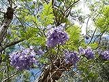 Asklepios-seeds® - 500 Semillas de'Jacaranda mimosifolia Jacarandá, jacaranda, tarco, palisandro,