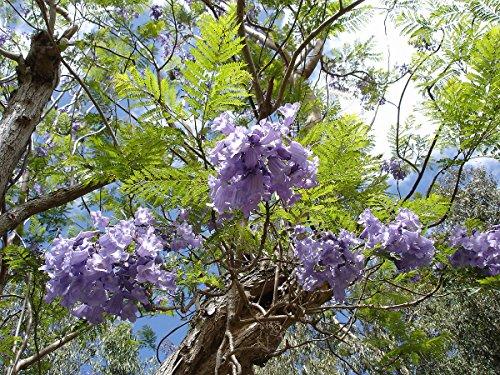 Asklepios-seeds® - Jacaranda mimosifolia, Palisanderholzbaum Saatgut, 250 Samen Palisander