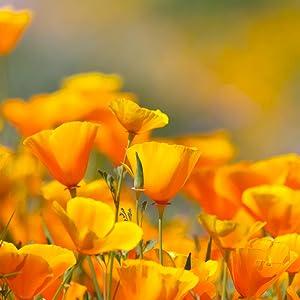 California Poppy Flower Seeds- Over 20,000 Premium Seeds - (Eschscholtzia californica) California State Flower