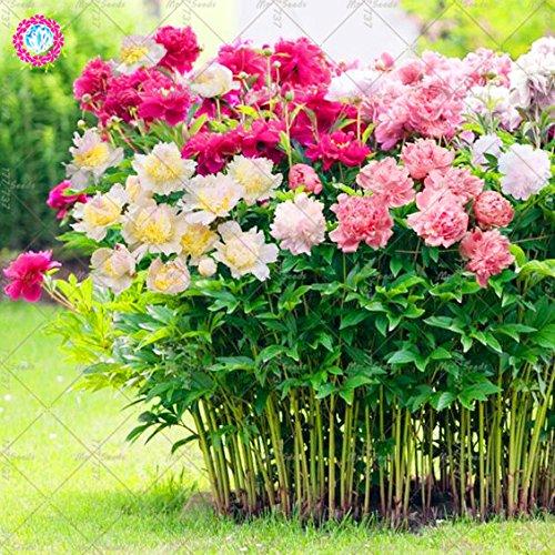 10 pcs couleurs mélangées Double Blooms Pivoine Graines Heirloom Pivoine Graines Bonsaï Graines de fleurs vivaces Flower Garden plantes