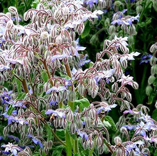 Semillas de borraja - Borago officinalis - 300 semillas
