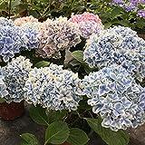 Fnho Ornamentales Semillas,Ornamentales para balcón, Jardín,Semillas de Hortensia, Planta de siembra en Maceta (50 PCS) -G
