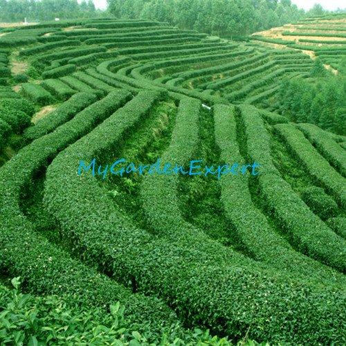 Chinesischer grüner Tee-Baum-Samen 20pcs / bag Bonsai-Baum-Samen DIY Hausgarten Pflanze DIY Bonsai Samen
