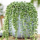 1 x Trailing Senecio Rowleyanus | Potted Indoor Succulent (20-30cm Incl. Pot)