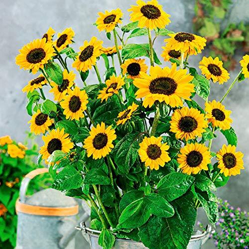 Qulista Samenhaus - Rarität Gelb Premium Sonnenblume SunBelievable™ XL bis zu 1000 Blüten, Bienen Insekten Blumensamen Mischung winterhart mehrjährig für Beete und Kübel