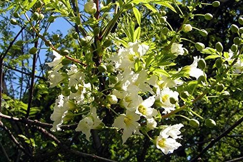 Gelbhorn Xanthoceras sorbifolium Pflanze 5-10cm Yellowhorn Goldenhorn Rarität