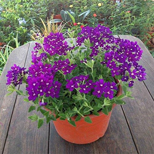 graines 100pcs Verveine seeds.Verbena HORTENSIS, graines de bonsaï rares fleurs Hanging plantes balcon intérieur fleurs pour le jardin à la maison 7