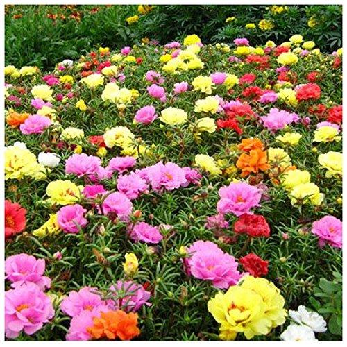 Lot 100 graines Pourpier à fleurs doubles - Chevalier d'onze heures - Portulaca - annuelles