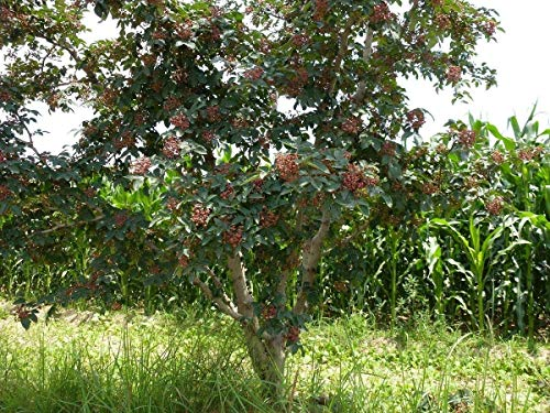 Potseed Semilla arbusto árbol - Orgánica Zanthoxylum simulans 200 Semillas de Pimienta Sichuan Sichuan