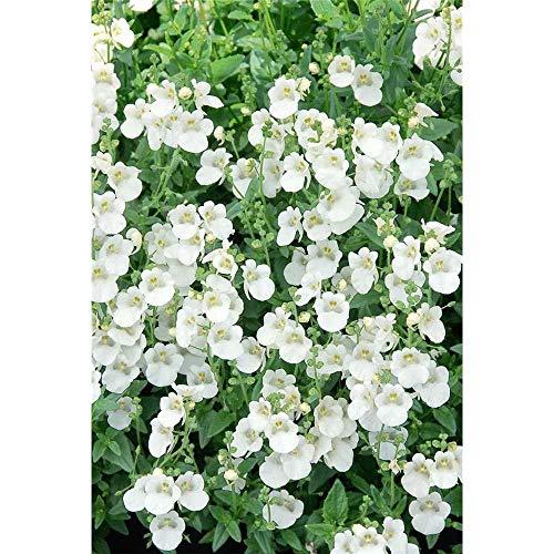 Diascia - Elfensporn, weiß - im Topf 11 cm, in Gärtnerqualität von Blumen Eber - 11 cm