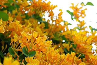 LONICERA 'MANDARIN', HONEYSUCKLE (WELL ROOTED PLANT IN A 2 1/2 X 3 1/2 INCH POT) - ZONE 4-9 VIGOROUS VINE - FEATURES IN SUMMER CLUSTERS OF YELLOW/ORANGE FLOWERS - ATTRACTIVE TO HUMMINGBIRDS AND BUTTER