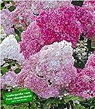 BALDUR Garten Freiland-Hortensie Vanille Fraise® im 2-Liter, 1 Pflanze, Hydrangea paniculata