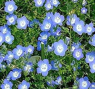 Baby Blue Eyes Flower Seeds ~ Nemophila menziesii - FULL SUN TO PARTIAL SHADE - Bright Blue Flowers (001000 Seeds - 1000 Seeds - Pkt. Size)
