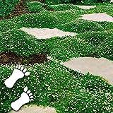 Anitra Perkins - Sternmoos Ziergras Saatgut Rasensamen immergrün Grassamen Teppich Bodendecker Polsterstaude robust winterhart mehrjährig (20)