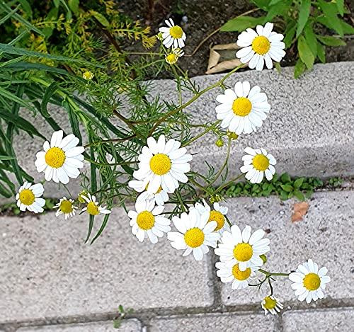 Echte Kamille - Matricaria recutita - Matricaria chamomilla – 1000 Samen
