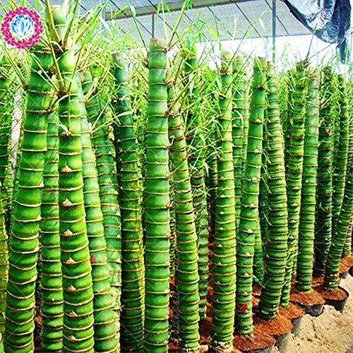 De nouvelles variétés 40pcs bonsaïs bambou rares seeds.Bambusa graines ventricosa jardin décoratives vivaces Les plantes en pot Semillas de flores
