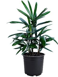 Best lady palm plant Reviews