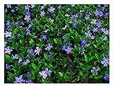 100 x Vinca minor (Blau) Kleines Immergrün (Bodendecker) ab 1,19 € pro Stück