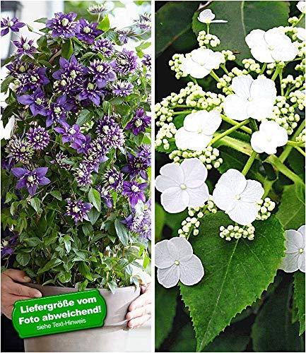 BALDUR-Garten Winterharte Kletterpflanzen Kollektion, 1 Kletterhortensie Hydrangea und 1 Clematis Taiga®, 2 Pflanzen
