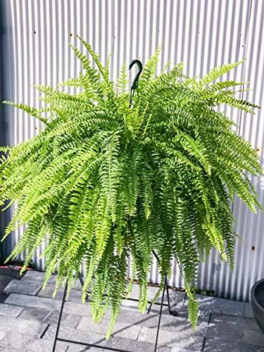 観葉植物 シダ ネフロレピス ボストンブルーベル 8号吊り鉢 育て方説明書付き Nephrolepis exaltata ボストンファーン ボストンファン