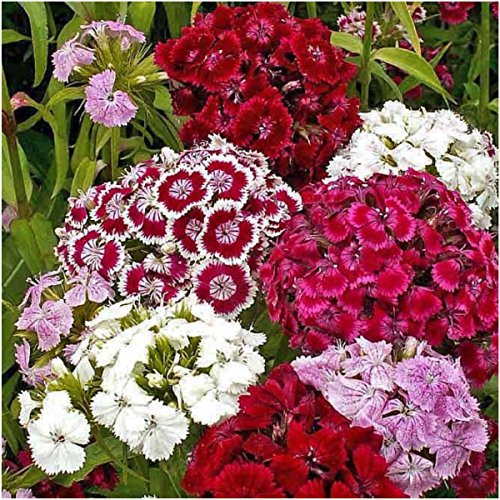 Package of 2,000 Seeds, Sweet William Mixture (Dianthus barbatus) Open...