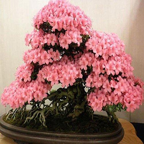 Rosepoem Bonsai Japanischen Kirschblüte Samen 10 stücke Bonsai Blume Kirschblüten Mischfarbe Garten Liefert