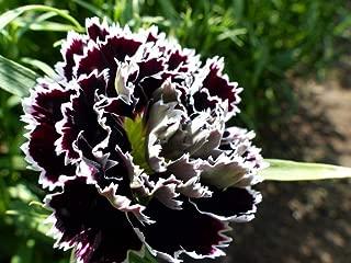 HOT - Dianthus chinensis heddewigii - 100 Seeds - Black and White