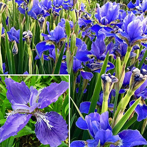 20+ Wild Purple Iris Flower Seeds Perennial Fragrant Plant Bonsai Home Garden