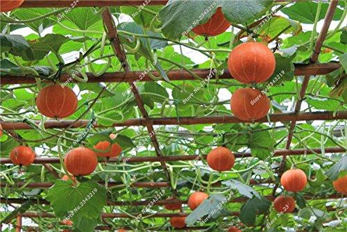 Graines de citrouille Cucurbita fil d'or fruits citrouille melon et légumes des semences meilleures ventes de l'extérieur, Bonsai 30 Plantes en pot Pcs 13
