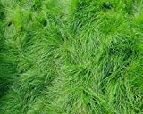 Creeping Red Fescue Lawn Grass Seeds, 1 Pound