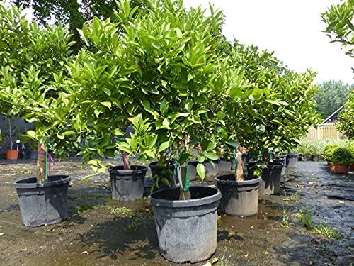 Citrus Sinensis Bonsai Orangenbaum...