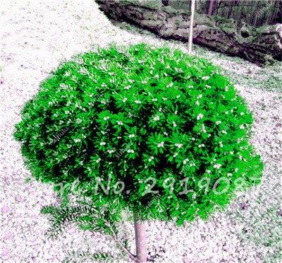 Colorado mixtes Graines de sapin Coloful Spruce Graines Picea arbre en pot Bonsai Cour Jardin Bonsai usine Pine Tree Seeds 100 Pcs 10