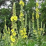 Großblütige Königskerze - Verbascum densiflorum -...