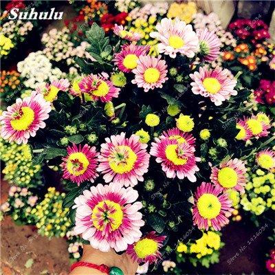 100 Pcs/Sac Gerbera Hybrids Perennail Graines de fleurs Plantes Bonsai faciles à cultiver les semences pour la maison et le jardin, purifient l'air 10