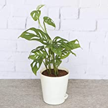 Ugaoo Philodendron Broken Heart Plant with Self Watering Pot