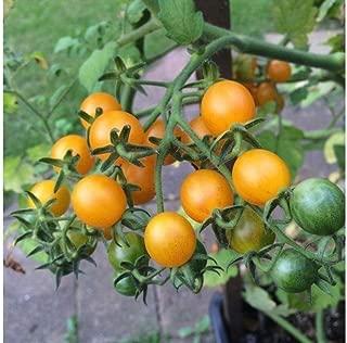 Wild Galapagos Organic Tomato Seeds - high yields of very tiny ¼ to ½ oz !!!(25 - Seeds)