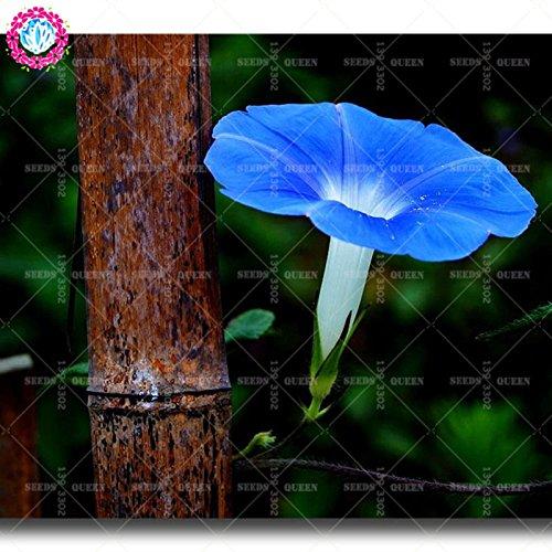 11.11 grande promotion! 50 pcs/lot rares colorés graines de volubilis graines de Bonsaï chinois jardin et la maison plante herbe organique 1