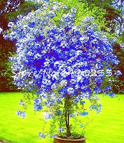 Pinkdose 100 Stücke Plumbago Auriculata Bonsai Exotische Staude Blumen Bonsai Haus Garten Dekor Pflanze Ceratostigma Plumbaginoides Bonsai: mischen