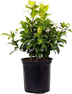 AMERICAN PLANT EXCHANGE Confederate Jasmine 1 Gallon Live Plant, 6