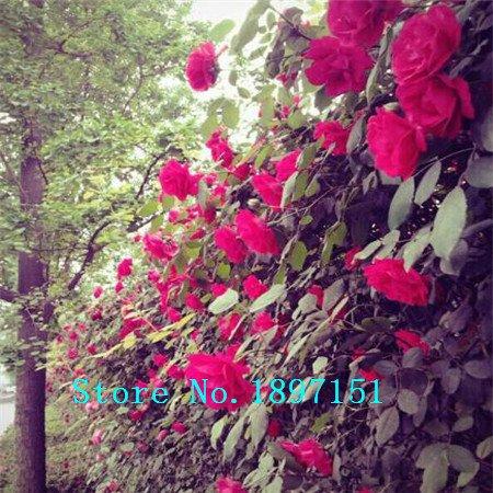 Grande vente Nouveau Belle romantique Escalade 6 Variété Couleur Rose Graines Rosa Multiflora graines de fleurs