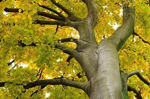 Rotbuche, Fagus sylvatica, Baum Samen (Edible, Auffälliges, Fall-Farbe) 5pcs