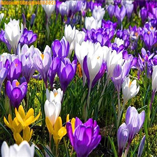HONIC 50 Stück echte Safranpflanze ian Safran (Nicht-Safran-Birne) glücklich Freude Blume Bonsai Topfpflanze Garten der Familie geben Schiff frei