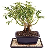 "Brussel's Live Dwarf Hawaiian Umbrella Indoor Bonsai Tree - 4 Years Old; 8"" to 10"" Tall with Decorative Container, Humidity Tray & Deco Rock"