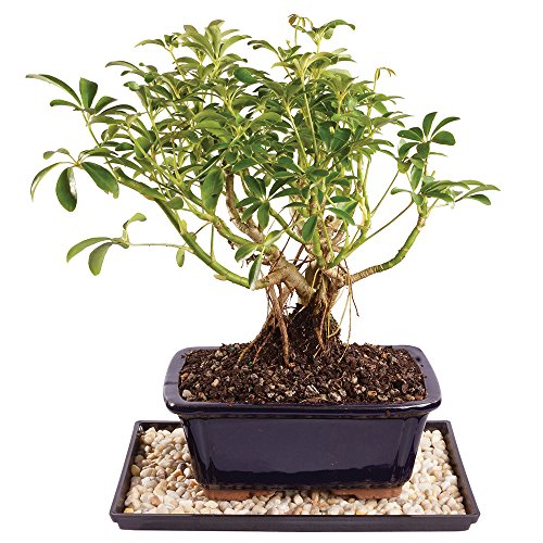 Brussel's Live Dwarf Hawaiian Umbrella Indoor Bonsai Tree - 4 Years Old; 8' to 10' Tall with Decorative Container, Humidity Tray & Deco Rock