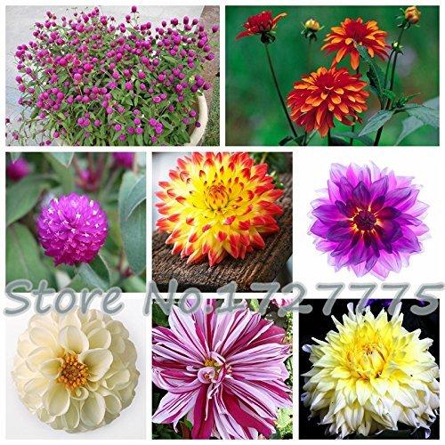 100 / sac dahlia, dahlia fleur Couleurs mixtes Dahlias Semences pour le bricolage jardin livraison gratuite